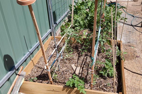 Very sad tomato bed, with all but one plant having to be replaced