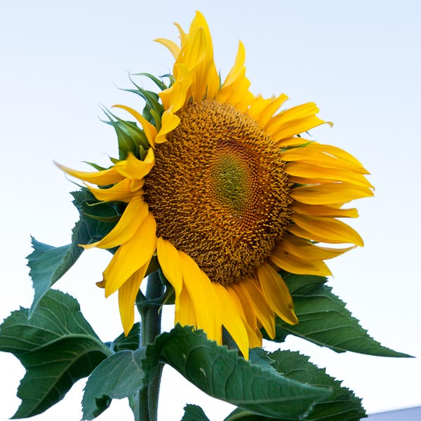 One of our more spectacular successes has been our giant russian sunflowers!!