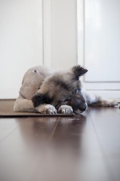 One shaved Keeshond, catching up on her beauty sleep!