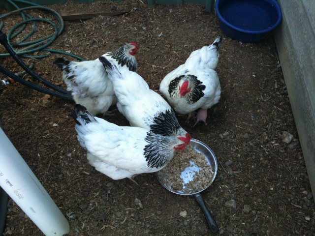 Afternoon tea in the Chicken Yard - Porridge and Natural yoghurt, mixed into their pellets.