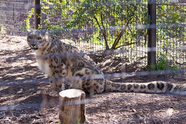 Snow Leopard, National Zoo Canberra.