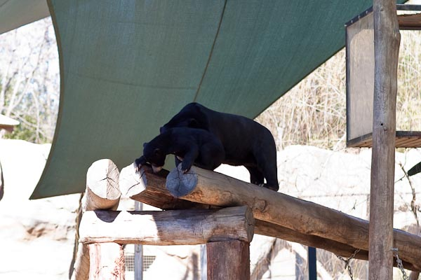 Sun Bear and Cub, National Zoo Canberra.