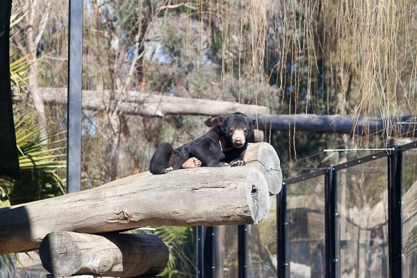 Sun Bear Cub, National Zoo Canberra.