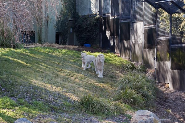 White Lions, National Zoo Canberra.